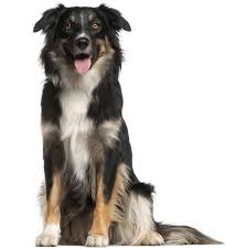 australian shepherd kennel club english shepherd dog breed information continental kennel club