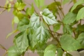 grape ivy plant care types of ivy house plants cissus rhombifolia