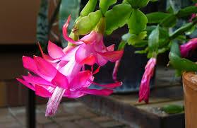 indoor gardening holiday cacti care yard and garden news