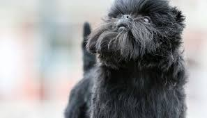 affenpinscher coat type puppies breeds everything you need to know about