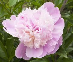 Geranium by Rose Geranium Essential Oil Uses And Benefits