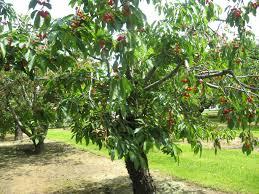 Cherry Tree Fruit - puddicombe estate farm toronto