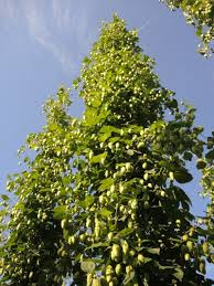Low Trellis Hops The Art And Science Of Hop Harvest Msu Extension