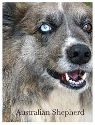 australian shepherd in spanish australian dog names