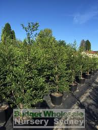 native plant nursery terrey hills hedging plants budget wholesale nursery sydney