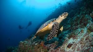 Dimensions by Scuba Diving Maldives Hanifaru Bay Manta Rays Baa Atoll Unesco