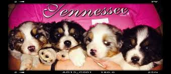 australian shepherd los angeles rescue australian shepherds for sale ads free classifieds