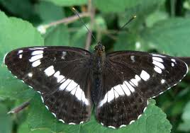 butterfly conservation white admiral