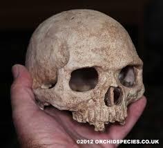 Halloween Skeleton For Sale by Human Skull Pygmy Human Skull Replica For Sale Uk Seller