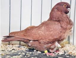 the 25 best pigeon breeds ideas on pigeon pigeon