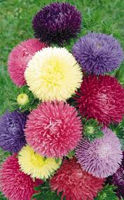 25 best aster flower ideas on pinterest november birth flowers