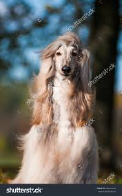 afghan hound afghan hound autumn stock photo 248447644 shutterstock