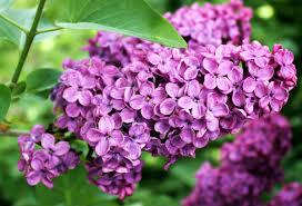free images nature flower purple bloom summer botany