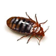 How Often Do Bed Bugs Reproduce Bed Bugs Commercial Pest Control Ny