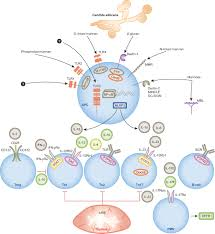 genetic susceptibility to candida infections embo molecular medicine