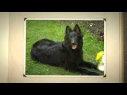 belgian sheepdog groenendael breeder belgian sheepdog temperament youtube