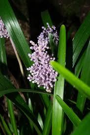 liriope muscari u0027christmas tree u0027 lily turf