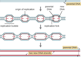 dna replication microbiology