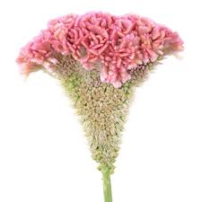 coxcomb flower coxcomb pink wholesale flowers