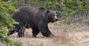 Bears Montana Hunting And Fishing - grizzly bears is it time to start hunting grizzlies in montana