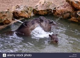 Tisch Family Zoological Gardens - tapirs bathing in a pool at the tisch family zoological gardens