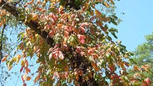 new mexico native plants fine vine u2013 a spectacular native plant you will love southern living