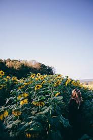 sunflower pictures 20 sunflower pictures free images on unsplash