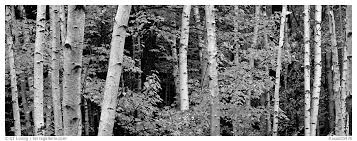 panoramic black and white picture photo white birch trees and