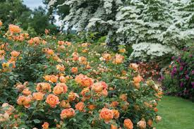 best david austin roses for pacific northwest gardens