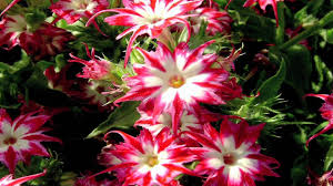 Phlox Flower Gardening Tips How To Grow Annual Phlox Phlox Drummondii Youtube