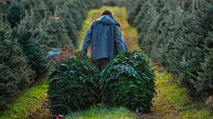 Helms Christmas Tree Farm - buying a fresh christmas tree you should check it for buggy