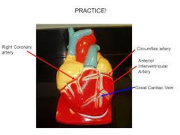 Sheep Heart Anatomy Quiz Heart Models Ppt Video Online Download