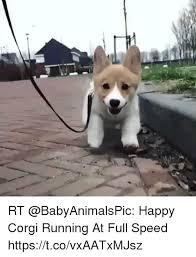 Corgi Birthday Meme - rt happy corgi running at full speed httpstcovxaatxmjsz corgi
