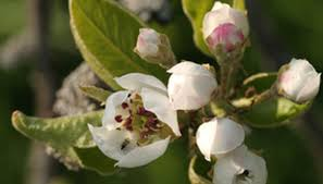 how to trim cleveland pear trees garden guides