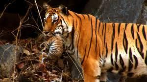 tiger cub for the on david attenborough