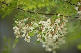 trees with white flowers outdoor illinois