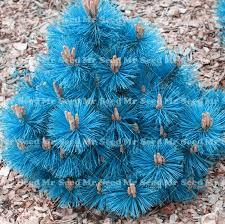 new varieties 10pcs japanese black pine seeds courtyard ornamental