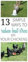 Best Backyard Chickens by 802 Best Chickens Images On Pinterest Backyard Chickens Chicken