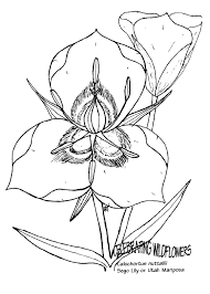 lily coloring pages big podded mariposa lily calochortus nitidus