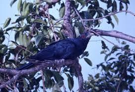 Birds In Your Backyard Birds In Backyards Top 30 Urban Birds Australian Museum