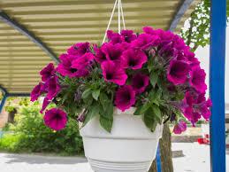 petunia flowers about petunia flowers