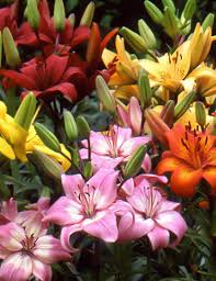 mixed asiatic lilies 77535