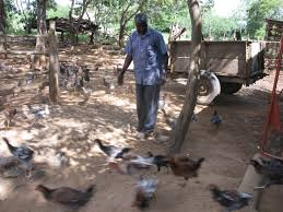 indigenous chicken breeds in kenya with ziwani poultry chicken