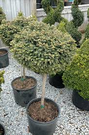 gem spruce tree form picea abies gem tree form