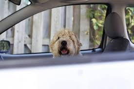 what to do when you see a dog alone in a car the globe and mail