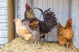 Backyard Nature Products Hi Pro Feeds Products Canada Poultry