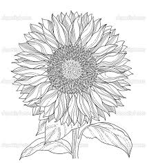 Flower Drawings Black And White - 19 best flower line drawings images on pinterest drawings