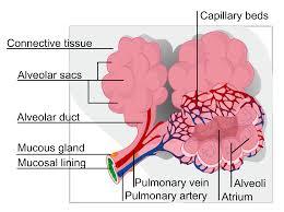file alveolus diagram svg wikimedia commons