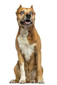 american pitbull terrier vs amstaff information on pit bull boxer mix dogs cuteness