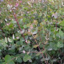 eucalyptus gunnii tree buy cider gum trees